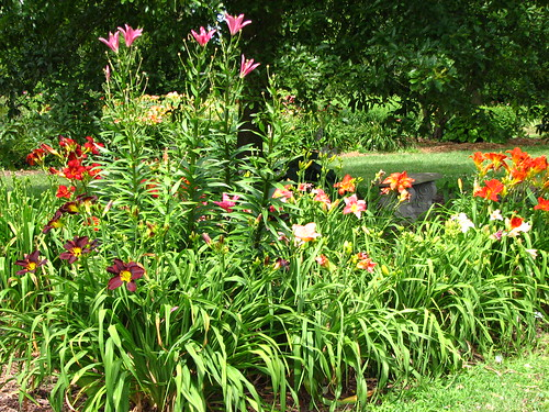 last of the Asiatic lilies