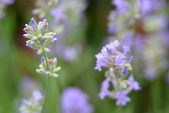120/365 (juie8) Tags: flowers macro nikon focus purple violet lavender lila project365 sooc