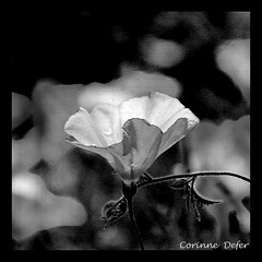 """Végétal""-""Vegetable"" (Corinne DEFER - DoubleCo) Tags: blackandwhite bw france flower blancoynegro nature fleur square noiretblanc flor nb 花 blume fiore botanique carré naturemorte liseron végétal carréfrançais miasbest updatecollection"