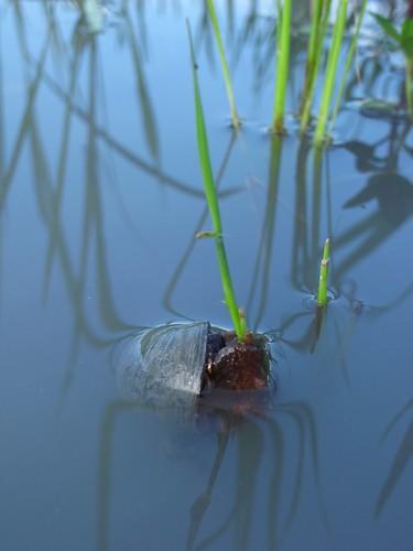 福壽螺啃草