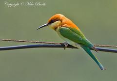 Chestnut-headed Bee-eater, Merops leschenaulti (Mike Barth - Bird Guide UAE) Tags: chestnutheadedbeeeater meropsleschenaulti