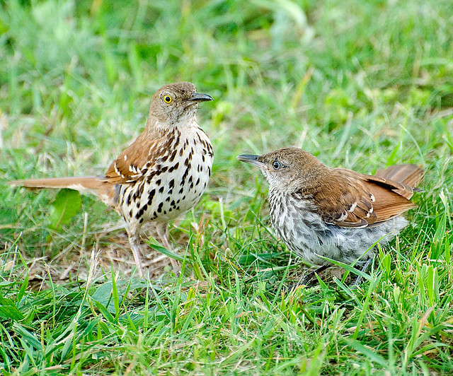 Brown Thrasher family