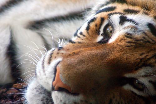 Unimpressed Tiger