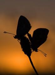 ... au soleil couchant ! (VDG ) Tags: butterfly butterflies papillon argus plebejusargus azur azurs accouplementargus accouplementpapillons accouplementplebejusargus accouplementazurs arguslumiresoleilcouchant soleilcouchantmacro