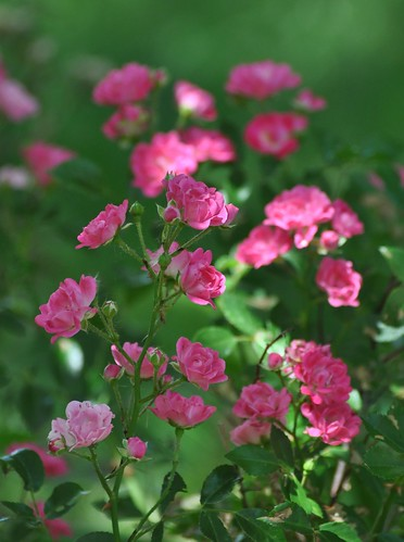 Miniature Pink Roses by CaptPiper