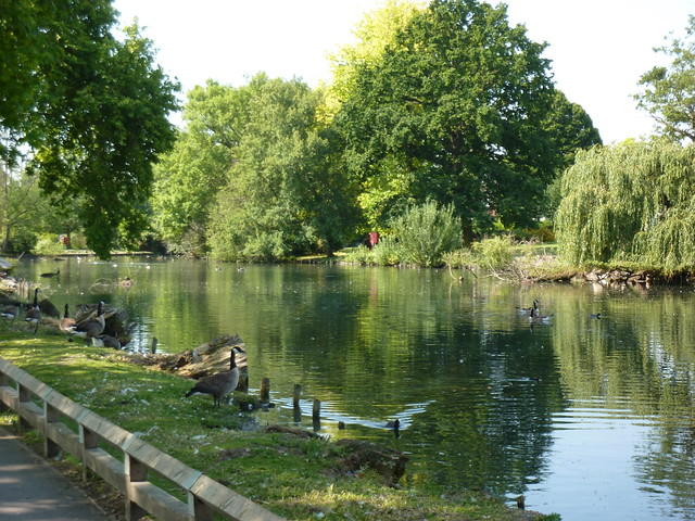Geese at Waddon Ponds