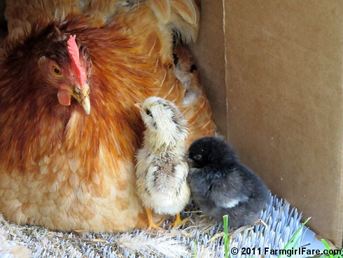 Mama hen and her two day old chicks 2
