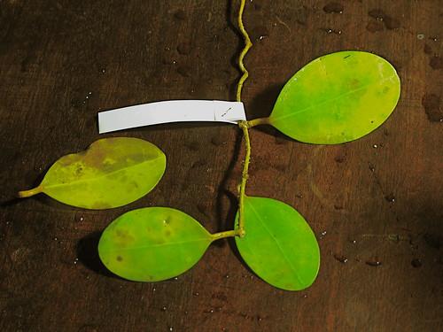 Hoya elliptica (IML 1679)
