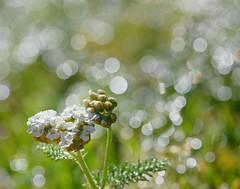 (*reina*) Tags: morning white flower silver wednesday bokeh sparkle dew hbw