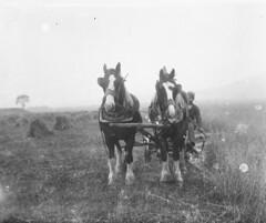 Victorian farmer driving Shire horses (Parsonago) Tags: horses horse glass found scotland farm perthshire victorian scottish shire negatives edwardian rossshire