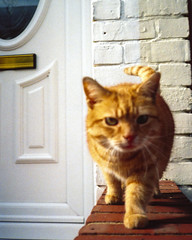 On the prowl (ChrisPerriman) Tags: door orange wall cat tail bricks outoffocus paws marmalade