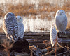 Watched (Peggy Collins) Tags: beach delta driftwood owl boundarybay owls snowyowl snowyowls arcticowl groupofbirds wildowls peggycollins birdsinnaturalhabitat owlsinnaturalhabitat