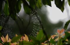 I'll Remember April (Pirtz) Tags: flowers tree green nature water rain spring spiderweb overcast brush waterdrops