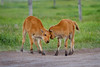 "Baby Bison twins, playing together (IronRodArt - Royce Bair (""Star Shooter"")) Tags: baby playing cute animals mammal twins buffalo play american calf bison calves grandtetonnationalpark babyanimal babyanimals americanbuffalo americanbision"