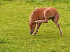 Krabben achter het oor (andzwe) Tags: horses copyright horse  pony ear behind scratching paard paarden oor foal krabben achter veulen panasoniclumixdmcfz50 andzwe andzwe scratchingbehindtheear krabbenachterhetoor scratchingbehindear
