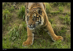 This little softie wants playtime! (Ania Dembny) Tags: cute canon stripes wildlife teeth tiger 5d bigcats tigercubs 400mm sumatrantigers wildlifeheritagefoundation whf aniajones copyright2014aniajones copyright2013aniajones copyright2012aniajones copyright2011aniajones copyright2010aniajones aniadembny aniadembnylrps