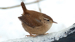 jennifer and the snow puzzle  (EXPLORED) (blackfox wildlife & nature imaging) Tags: snow wales wren mold nikoncamera jennywren nikonlens secretvalleyreserve