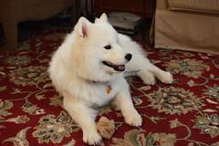 Jax (natbmw2) Tags: dog wolf wildanimal siberian jax howling howl smoyed ektachromeees canon550d bigwhitefluffysnowdog