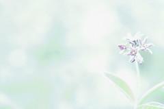 Something Simple (flashfix) Tags: blue ontario canada flower macro green nature leaves lines petals stem nikon soft exposure bright bokeh ottawa textures highkey 40mm hue 2014 intentionalnoise d7000 nikond7000 2minutemacro 2014inphotos may292014
