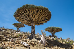 Dragon Blood Tree (Sami T (currently traveling)) Tags: travel trees island fujifilm yemen 18mm socotra dragonbloodtree xpro1