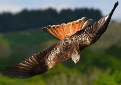 DSC_5363 Red Kite! (jefflack Wildlife&Nature) Tags: redkite raptors avian avianexcellence ngc npc nature wildlife birdsofprey birds wildbirds
