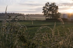 Frosted Wheat (Tessalina Sofia Photography) Tags: morning field sunrise germany bayern deutschland frost farm wheat dew grafenwhr