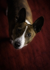 "6.12 Raisin ""She makes my heart sing!"" (jezandia) Tags: dog basenji raisin thelittledoglaughedportraits 12monthsfordogs14"