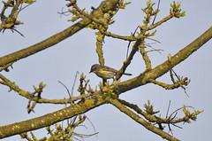 Yellow-rumped Warbler (glenbodie) Tags: glen bodie glenbodie dncb serpentine 201417 yellowrumped warbler