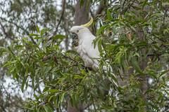Cockatoo in a Gum Tree (- Jan van Dijk) Tags: cockatoo bird kaketoe oiseau vogel natuur nature inthewild wildlife tz110