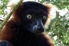 P1060219 (LaBonVampire) Tags: lemur animals nature leica leicalenses lumix