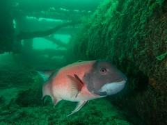 PA060434.jpg (Michael Bartosek) Tags: olympusepl3 catalinaisland olympus1442mm underwater catalina diving california pacificocean