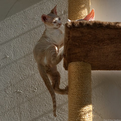 Just Passing (peter_hasselbom) Tags: cats sun cat 50mm kitten naturallight kittens climbing tm devonrex cattree 2cats 11weeksold 2kittens creamandwhite