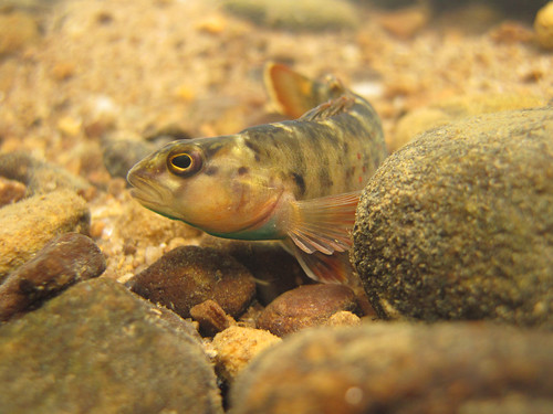 Etheostoma camurum (bluebreast darter) (2)