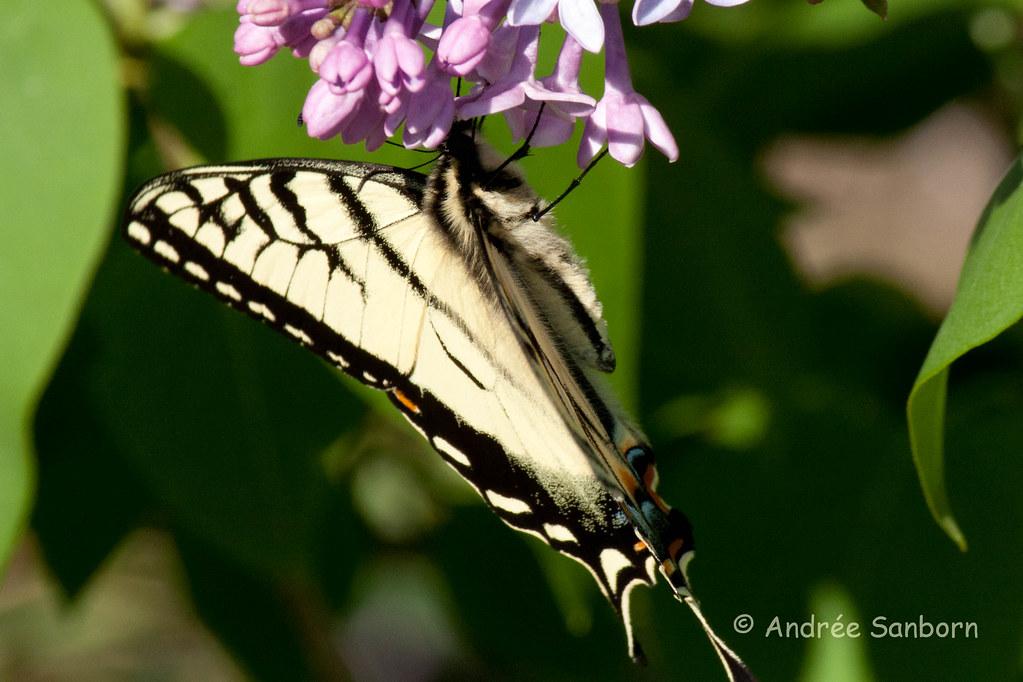 Eastern Tiger Swallowtail (Papilio glaucus)-14.jpg