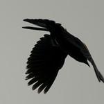 Blackbird in flight thumbnail