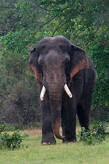 Majestic (Sara-D) Tags: wild animals asia wildlife srilanka ceylon endangered majestic maximus wildanimals endangeredspecies elephasmaximus tusker elephas elephasmaximusmaximus srilankanelephant wildtusker tuskersofsrilanka
