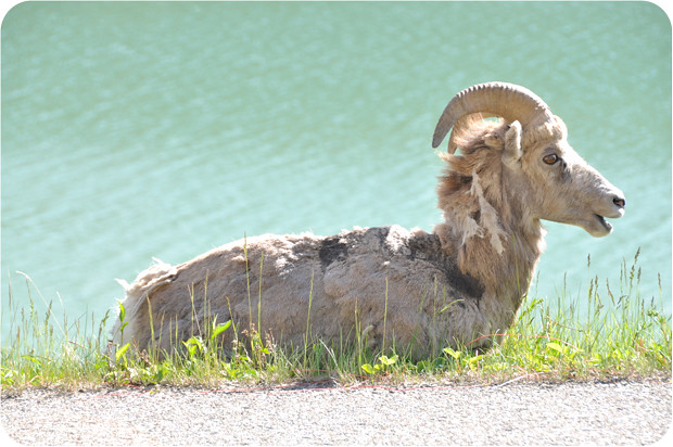 Long-horned-ram-2