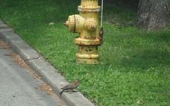 Ground Woodpecker (blazer8696) Tags: bird point woodpecker connecticut ct stamford northern flicker northernflicker shippanpoint colaptesauratus colaptes 2011 auratus piciformes picidae dscf5452 furandfeathers shippan piciformespicidae t2011