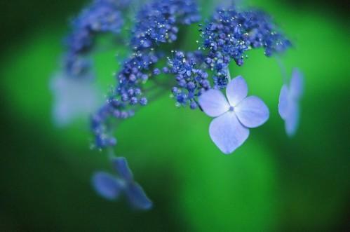 Blurred Hydrangea #6 by chizuru-bis