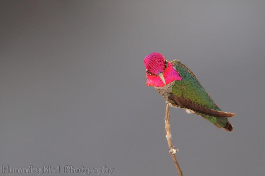 Anna's Hummingbird 070811