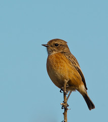 Female Stonechat - Co Down (Alistair Prentice.) Tags: county sea bird female newcastle pentax wildlife sigma down 150 coastal coastline 500 kx stonechat
