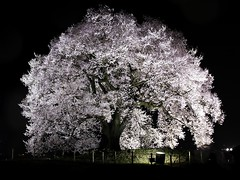Cherry Blossoms in the rain  (FujiFilm X10) (potopoto53age) Tags: plant flower tree apple rain japan night cherry aperture fuji shot blossoms nightlight   sakura fujifilm cherryblossoms lightup fujinon x10   appleaperture nirasaki wanitsuka superebc   allxpressus  yanabashi cherryblossomsintherain fujifilmx10 fujinonsuperebc21mm112mmf20f28 21mm112mm f20f28