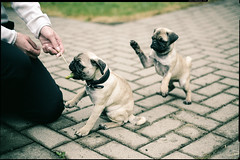 attack-pug (patrickbraun.net) Tags: dog green grass puppy young pug hund mops welpe vsco highqualitydogs fujifilmxpro1 fujinonxf35mmf14r