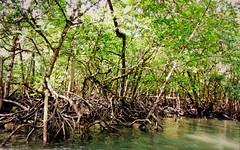 Midst of Mangroves (Pulkit Nakrani) Tags: tree beautiful canon way wooden amazing fantastic bokeh awesome roots powershot mangrove andaman sx230hs canonpowershotsx220hs sx220hs powershotsx220hs