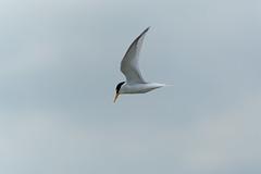 Little Tern (Future-Echoes) Tags: bird animal wings flight essex tern littletern waltononthenaze