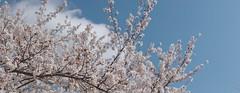 染井吉野 (Polotaro) Tags: panorama flower nature pen olympus 桜 sakura 花 自然 zuiko ep1 さくら 染井吉野 サクラ 4月 ソメイヨシノ ペン パノラマ オリンパス ズイコー mzuikodigital45mmf18 epm2