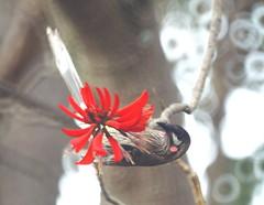 Red Wattlebird (helmutnc) Tags: hg sweetfreedom specanimal hennysanimals dailynaturetnc12