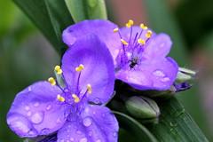 Trzykrotka i mucha. (Virginia spiderwort and fly.) (§ ßΘΘ⊂нє⊂к) Tags: blue plant flower water grass rain garden virginia fly drops purple blossom violet petal dew spiderwort kwiat inscet płatki andersona trzykrotka