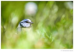 blue tit (Den Boma Files) Tags: park wood wild cute bird nature beautiful beauty yellow fauna mammal wings flora natural wildlife feather nobody species wilderness habitat bluetit plumage