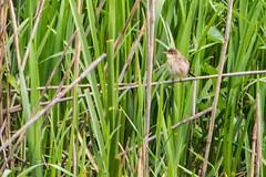 rousserolle effarvatte (leroilezard52) Tags: libert oiseau roseaux petit mignon lacduder ornithologie nerveux rousserolleeffarvate leroilezard52